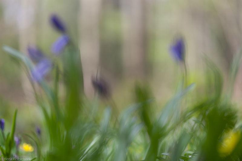 Wilde Hyacint - Scilla non-scripta