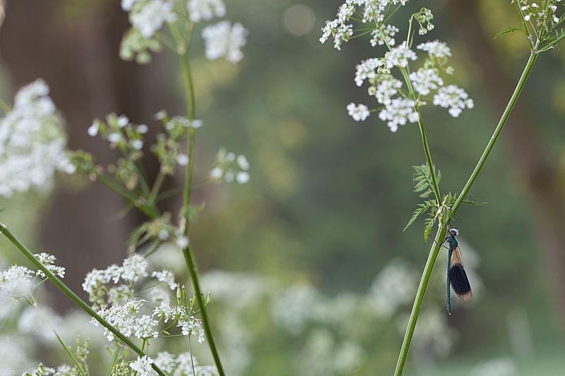 #011 Libellen, het seizoen is weer begonnen