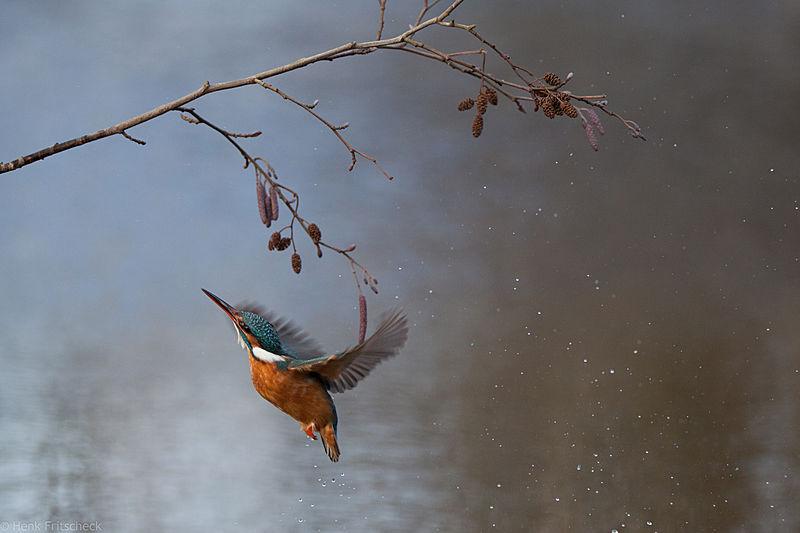 IJsvogel naar tak