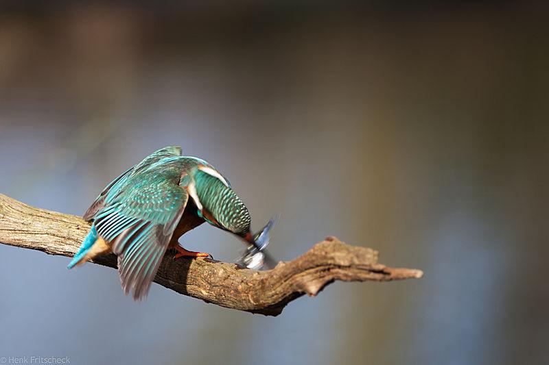 IJsvogel vis slaan2-3258