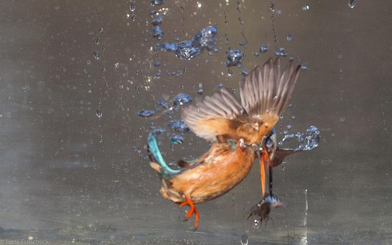IJsvogel onder water