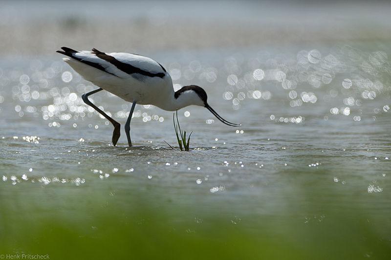 Kluut, Avocet, Säbelschnäbler, Recurvirostra avosetta
