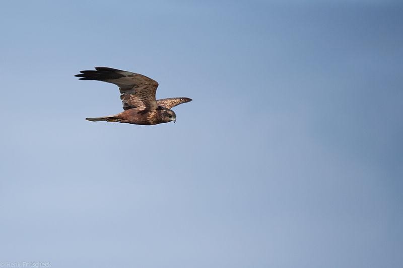 Bruine kiekendief, Circus aeruginosus, Marsh harrier, Rohrweihe