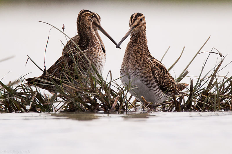 Watersnip, Gallinago gallinago, Common snipe, Bekassine