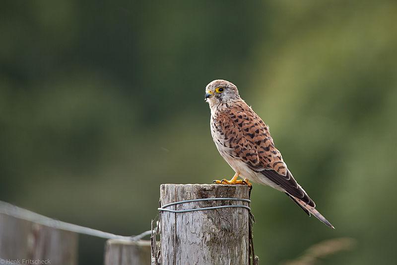 Torenvalk, Falco tinnunculus, Kestrel, Turmfalke