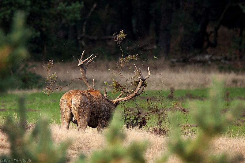 Edelhertbok smijt gras en heide omhoog (Cervus elaphus), Red Deer, Rothirsch