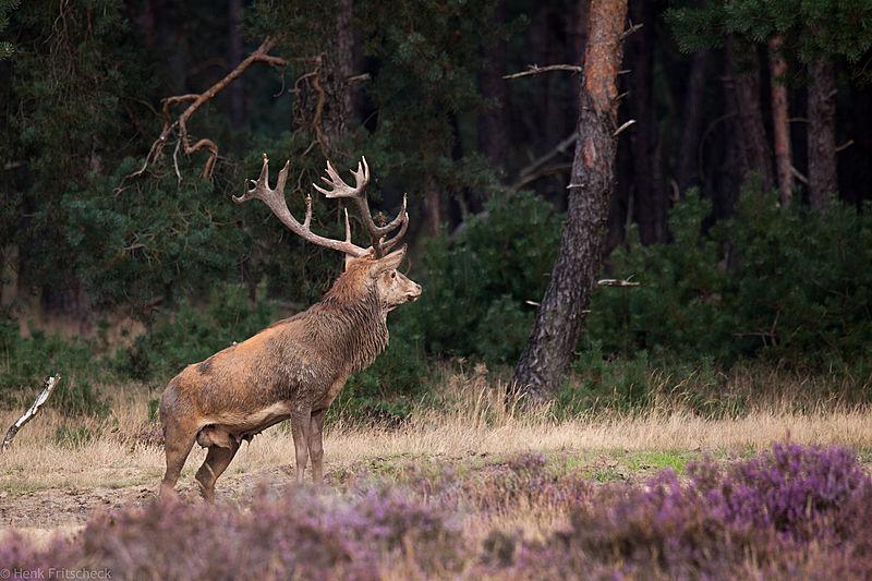 Edelhert (Cervus elaphus), Red Deer, Rothirsch