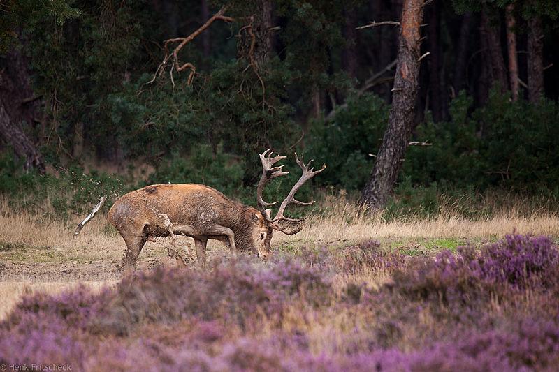 Edelhert beplast zich(Cervus elaphus), Red Deer, Rothirsch