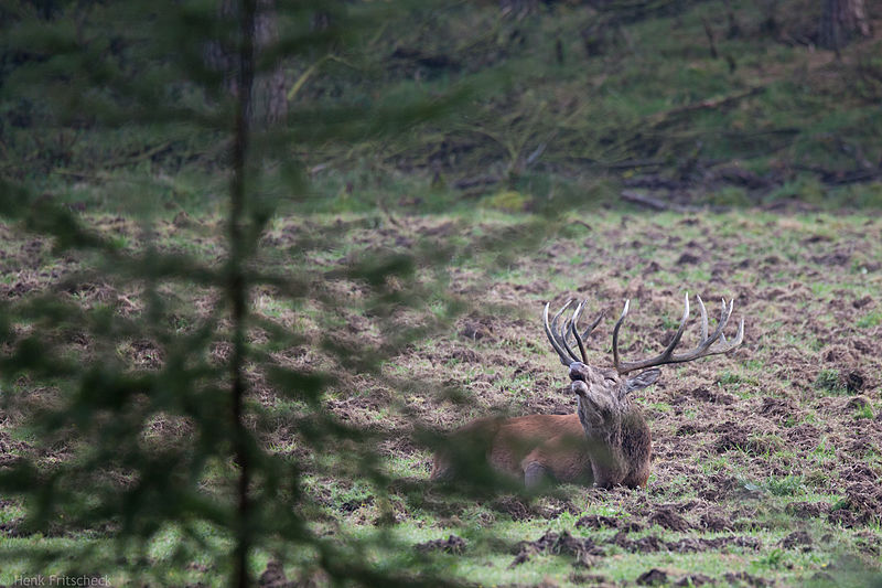 Edelhert burlend in  rustkuil(Cervus elaphus), Red Deer, Rothirsch