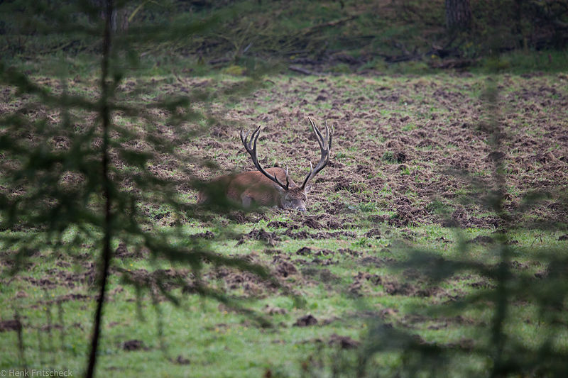 Vermoeid edelhert in  rustkuil (Cervus elaphus), Red Deer, Rothirsch