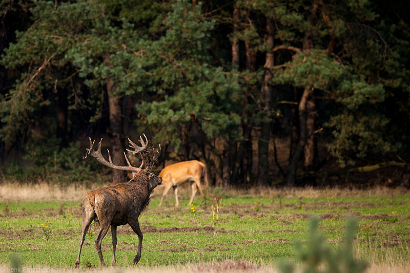 Edelhert met hei en gras  op gewei(Cervus elaphus), Red Deer, Rothirsch