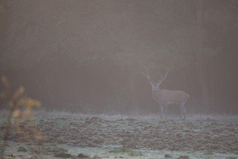 Edelhert in ochtendmist  (Cervus elaphus), Red Deer, Rothirsch