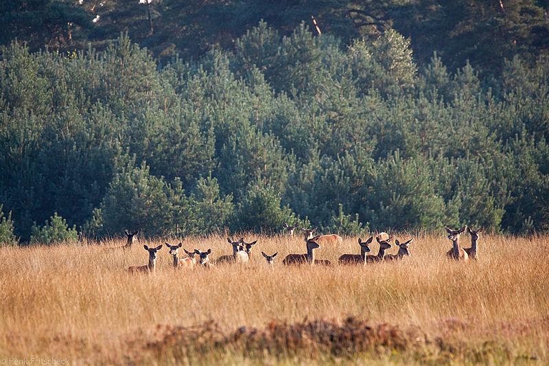 Roedel geiten uittredend (Cervus elaphus), Red Deer, Rothirsch