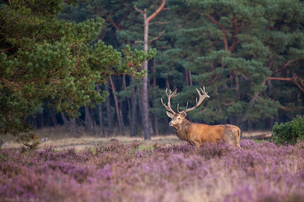 Edelhertbok in heide, (Cervus elaphus), Red Deer, Rothirsch