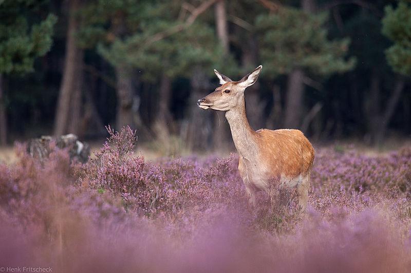 Edelhertgeit in heide. (Cervus elaphus), Red Deer, Rothirsch