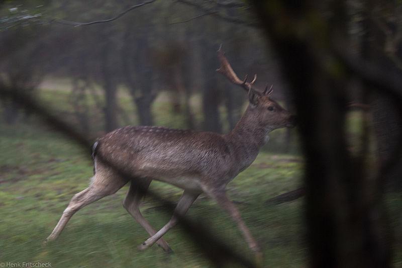 Verliezende bok Damhert (Dama dama) Damhirsch Fallow Deer