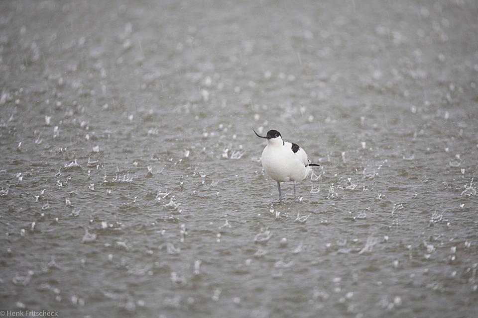 Kluut in de regen