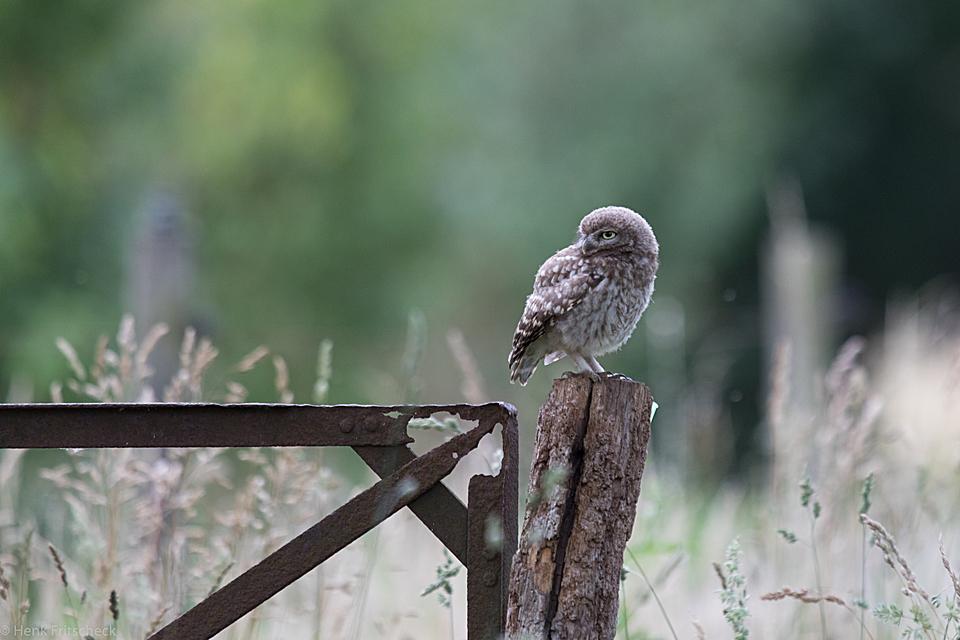 Jonge steenuil op hek