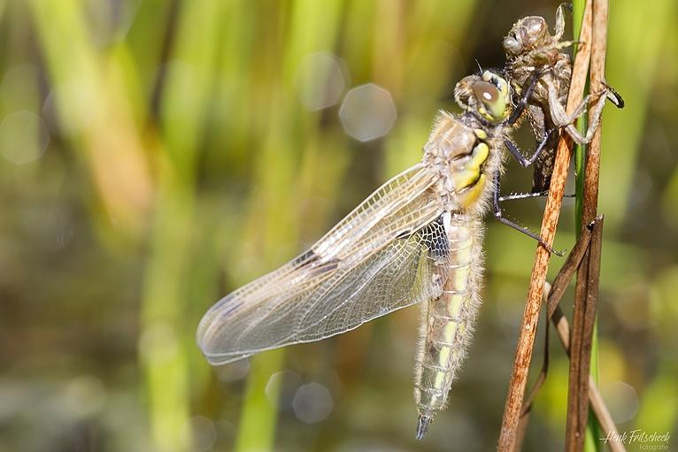 Blog #064 Uitsluipende Libellen