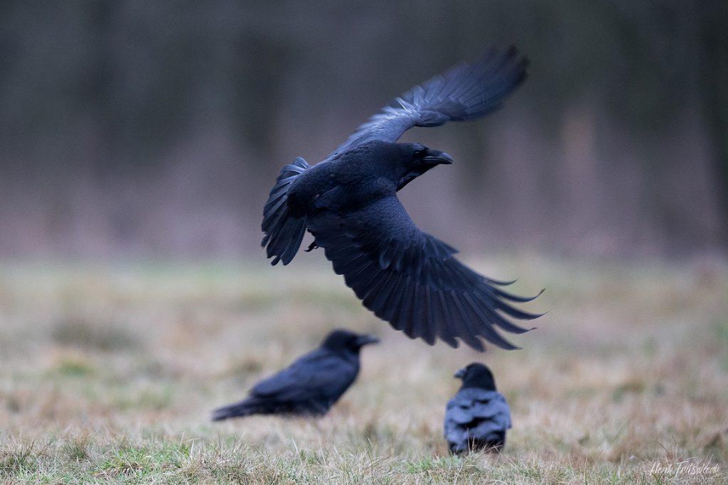 Groepje Raven